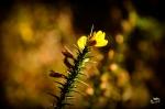 flor de toxo, paula verde francisco